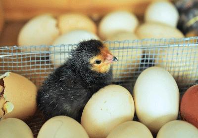 Bewaarplaats voor consumptie en of broed eieren